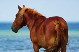 Horse on the Outer Banks