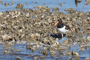 Ecotourism in the Outer Banks Oyster Reef Restoration